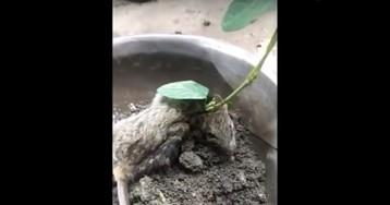 «Это чудо»: фермер нашел живую крысу, из головы которой выросло бобовое дерево
