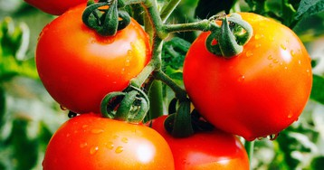 Scientists are creating a perfect tomato that Europe likely won't touch