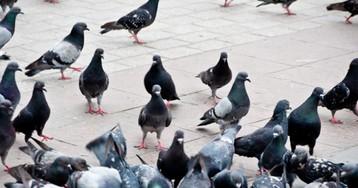 Дикие голуби— страшные птицы!