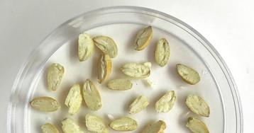 В США разрешено культивирование нового генетически модифицированного сорта хлопка