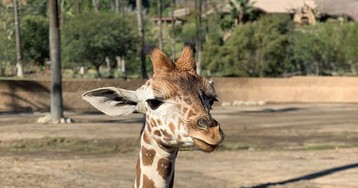 5-month-old giraffe euthanized after gore wound to stomach at San Diego Zoo