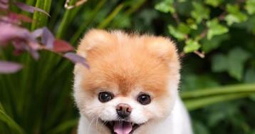 Morre cãozinho Boo, sucesso no Instagram