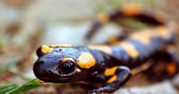 Key to human regeneration could be found in recently assembled salamander genome