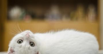 Датские учёные: кошачий паразит провоцирует развитие шизофрении у человека