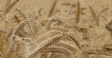 КНДР попросила у России бесплатно 50 тыс тонн пшеницы