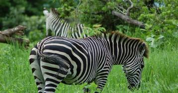 [Перевод] Полосы зебры это — бесполетная зона для мошек