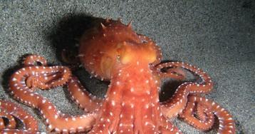 Рестлинг с осьминогом  — странный вид единоборств