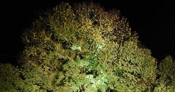 El olmo de 382 años que quiere convertirse en el árbol europeo del año