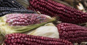 El regreso del maíz nativo frente a las harinas industriales en México