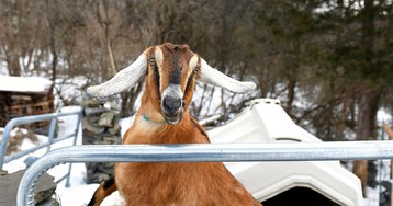 Vermont town elects 3-year-old goat to serve as honorary mayor