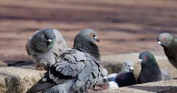 Британские голуби займутся мониторингом климата с помощью сенсорного рюкзака