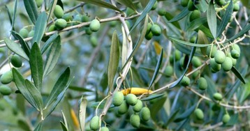 Просто добавь оливкового масла