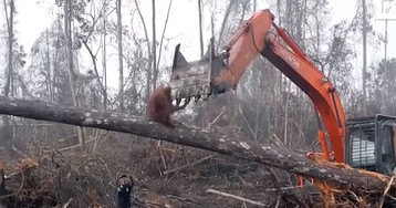Watch a brave orangutan attempt to fight off the humans destroying his home