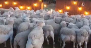 Massive sheep herd invades California backyard