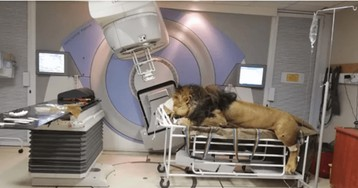 Lion Has Radition Treatment For Skin Cancer At a Private Human Hospital In Africa