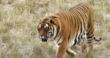 Why big cats are increasingly preying on humans in India