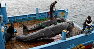 After 30 years, Japan prepares to resume commercial whaling