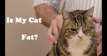 How Do You Tell if Your Cat is Too Fat And Why You Should Care