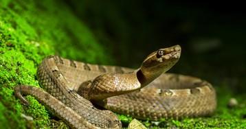 Самые распространенные мифы о ядовитых змеях