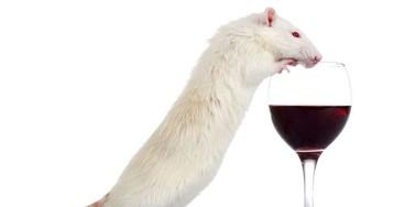 Вино и крысы: применение ресвератрола для восстановления мышц в условиях марсианской гравитации