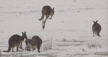 Kangaroos Hopping Around In Snow Prove The World's Gone Crazy: 10 GIFS and Images