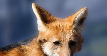Почему лиса несъедобна?