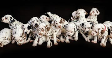 This Dalmatian Gave Birth To 19 Puppies And Broke The World Record