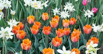 Нарциссы, тюльпаны и рябчики: сажаем луковичные