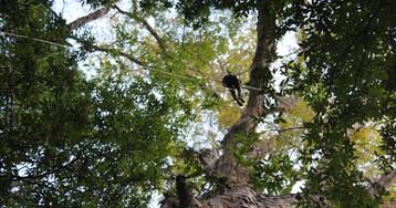 El árbol más alto de la Amazonia