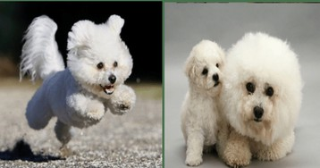 Photos Of Fluffy Bichon Frises That Look Like Little Floating Clouds