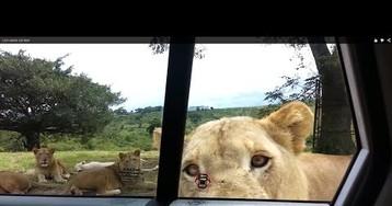 Lion Opens Car Door, Humans Freak Out