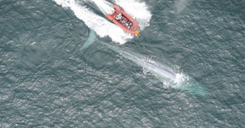 First Measurements of a Blue Whale's Heart Rate Are a Glimpse Into the Biology of Extremes