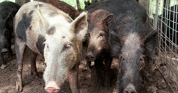 59-Year-Old Texas Careworker Killed by Feral Hogs in 'Very Rare' Attack