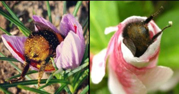 Your Daily Treat: Tired Bees Who Fell Asleep Inside Flowers