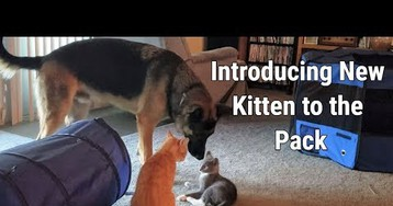 New Kitten Is Introduced To The Pack (Video)