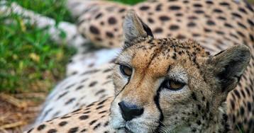 Почему гепард бросает преследовать жертву?