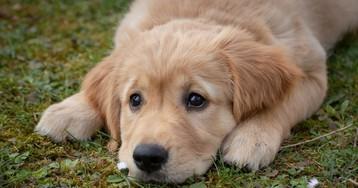 Собаки нечувствуют вины