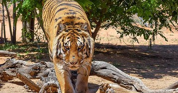 Dublin Zoo tiger 'attacks' young boy -- only to be stopped by glass partition