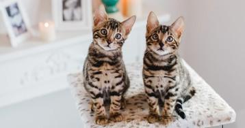 Что нужно знать, прежде чем завести бенгальскую кошку