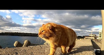Glorious Lion Chonk Of A Cat Patrols Fishing Port