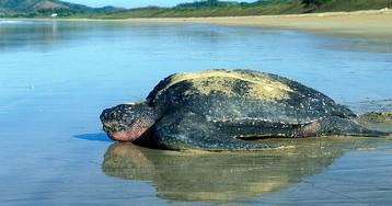 Природа берет свое: кожистые черепахи вернулись в исконные места обитания