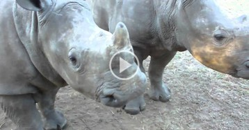 Just In Case You've Never Heard What Baby Rhinos Sound Like