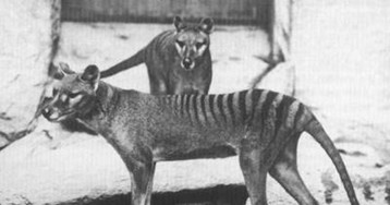 Rare footage from 1935 shows the last Tasmanian tiger that lived