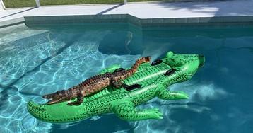 Аллигатор забрался в бассейн и покатался на надувном аллигаторе