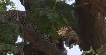 По праву сильного: леопард отбирает добычу у самки
