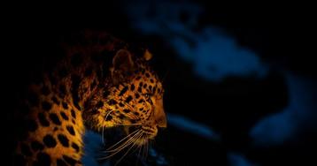 """Пятнистое древо жизни: в """"Земле леопарда"""" впервые составили родословную амурских леопардов"""