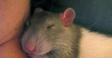 Крысы любят поглаживания! Доказано японцами