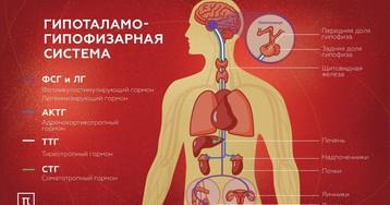 Центр эндокринной системы: кто управляет гормонами?