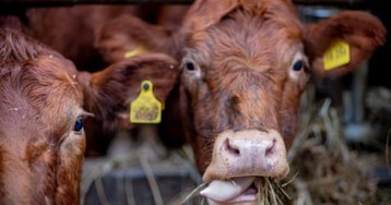 EU's farm animals 'produce more emissions than cars and vans combined'