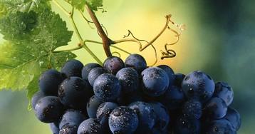 Виноград: в чем польза сладкого лакомства для здоровья